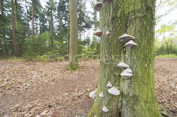 Fungo muitos árvore floresta Foto stock © ivonnewierink