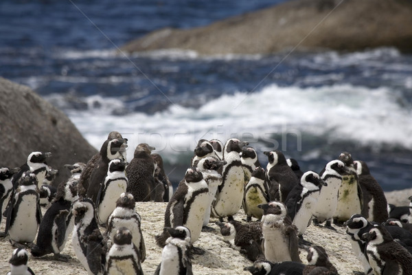 Penguins  Stock photo © ivonnewierink