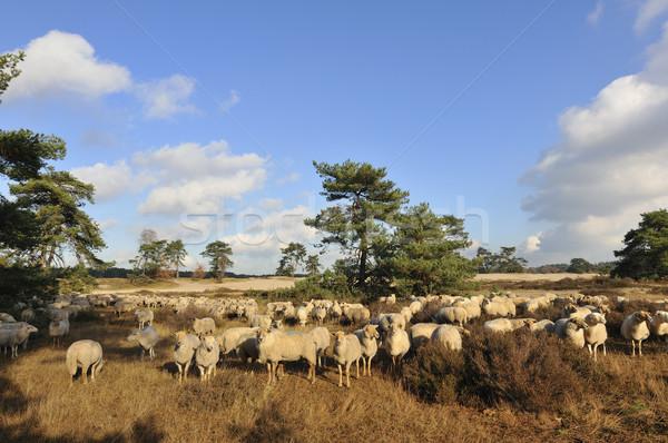 群れ 多くの 羊 群れ 自然 風景 ストックフォト © ivonnewierink