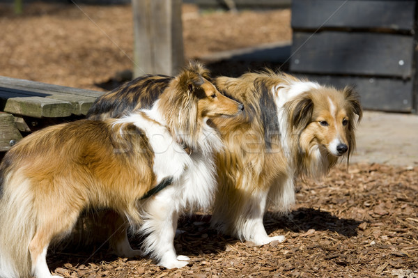 Two Sheltie dogs Stock photo © ivonnewierink