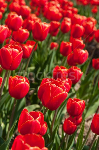 Rojo tulipanes vertical paisaje campos Holanda Foto stock © ivonnewierink