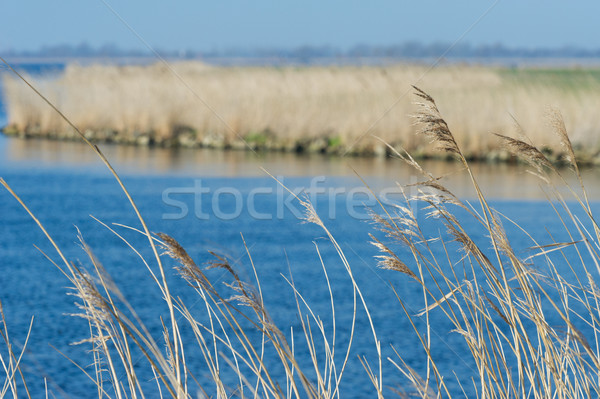 Stock photo: Reed in front of lake