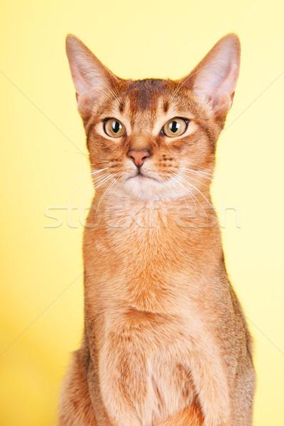 猫 肖像 黄色 動物 美しい ブラウン ストックフォト © ivonnewierink