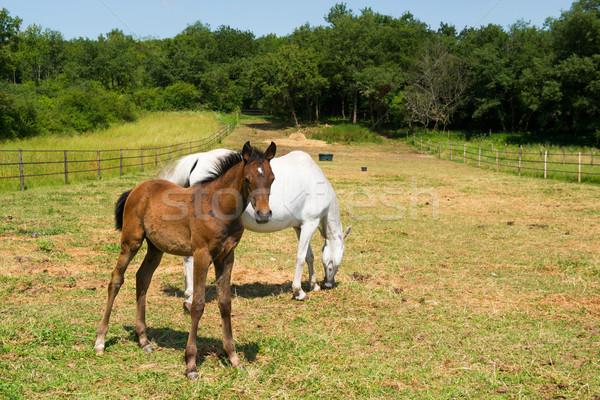 Fehér ló csikó mezők család fű mező Stock fotó © ivonnewierink