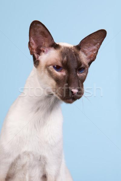 Sziámi macska fóka pont kék szemek kék háttér Stock fotó © ivonnewierink