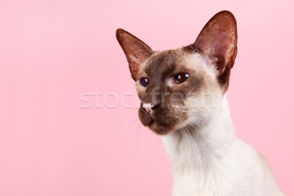 Sziámi macska fóka pont kék szemek rózsaszín kék Stock fotó © ivonnewierink