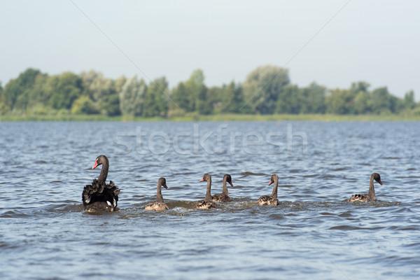 Fekete néma úszik természet madarak Stock fotó © ivonnewierink