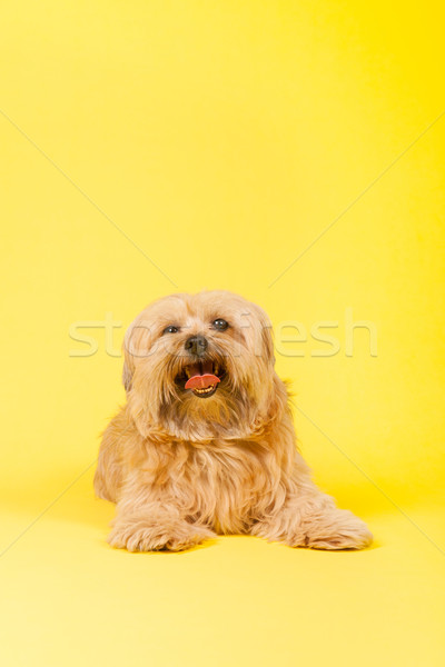 Little long haired dog on yellow background Stock photo © ivonnewierink