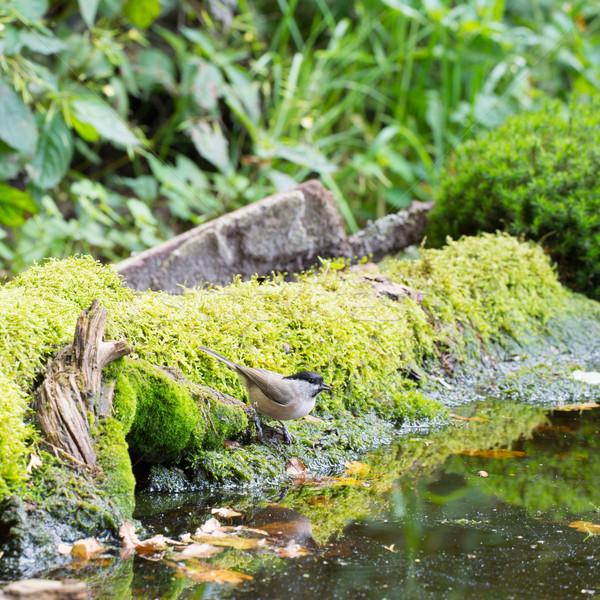 ива Тит питьевой лес питьевая вода Сток-фото © ivonnewierink