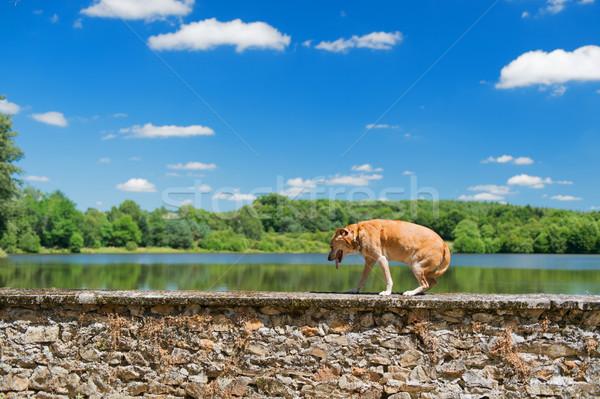 古い 犬 自然 茶色の犬 壁 風景 ストックフォト © ivonnewierink