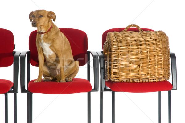 Foto stock: Veterinario · perro · gato · espera · médicos · rojo