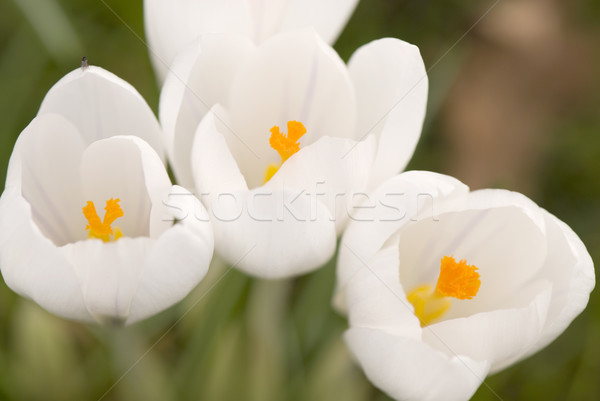 white crocus Stock photo © ivonnewierink