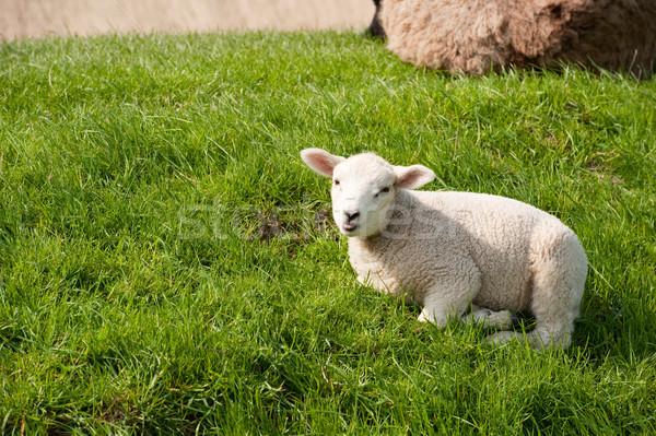 Sheep on the dike Stock photo © ivonnewierink
