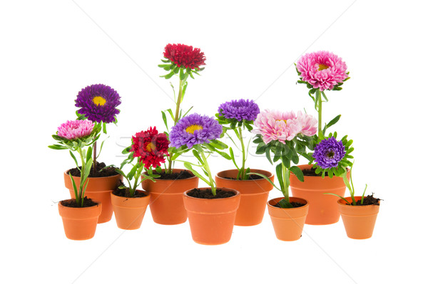 Colorful double asters Stock photo © ivonnewierink