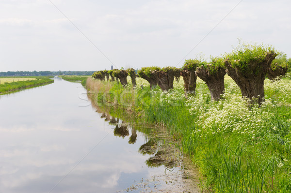 Row pollard willows and cow parsley Stock photo © ivonnewierink