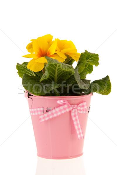 Amarelo prímula rosa balde isolado branco Foto stock © ivonnewierink