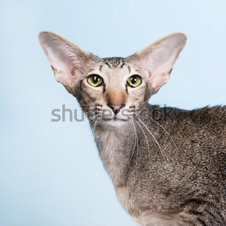 Stúdió portré fóka sziámi macska izolált zöld Stock fotó © ivonnewierink
