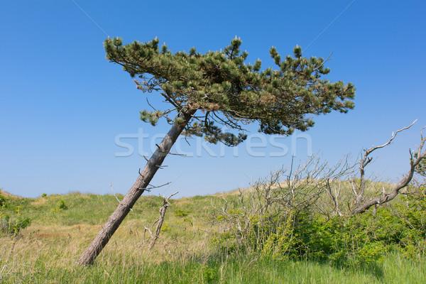 Crooked tree Stock photo © ivonnewierink