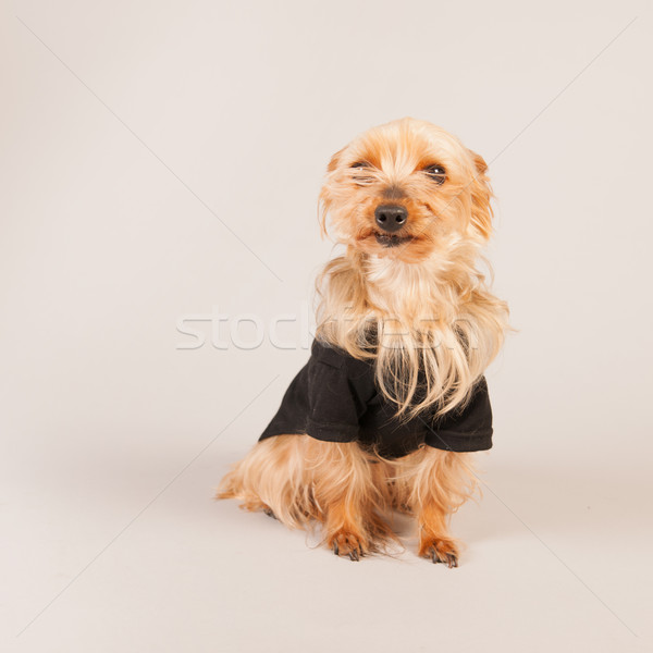 Yorkshire terrier Stock photo © ivonnewierink