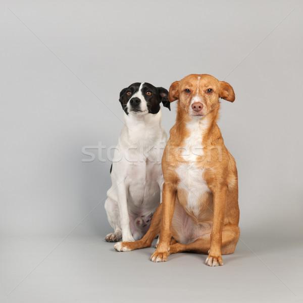гончая испанский животного сидят ПЭТ два Сток-фото © ivonnewierink