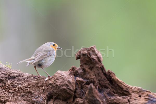 European Robin in tree Stock photo © ivonnewierink