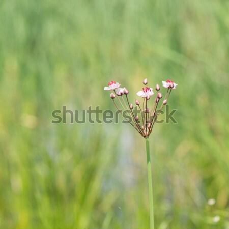 Fű sietség rózsaszín vad természet Stock fotó © ivonnewierink