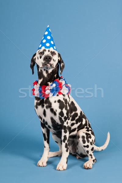 Dalmaçyalı köpek doğum günü hayvan mavi portre Stok fotoğraf © ivonnewierink