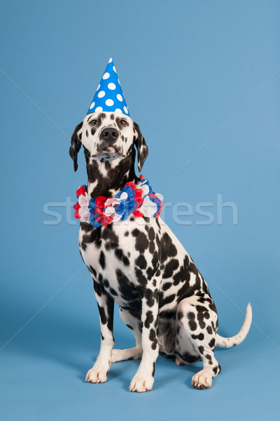 Dálmata cão aniversário animal azul retrato Foto stock © ivonnewierink