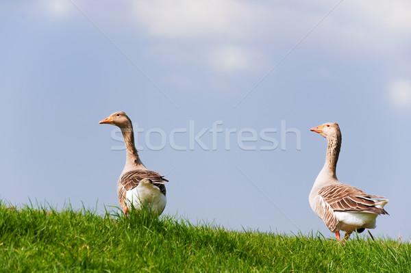 Couple gooses  Stock photo © ivonnewierink