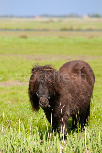 Brun poney vertical paysage cheveux longs cheval Photo stock © ivonnewierink