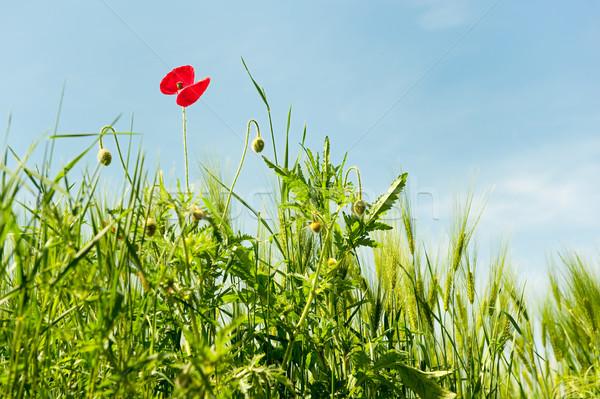 野の花 トウモロコシ畑 ポピー 自然 フィールド トウモロコシ ストックフォト © ivonnewierink