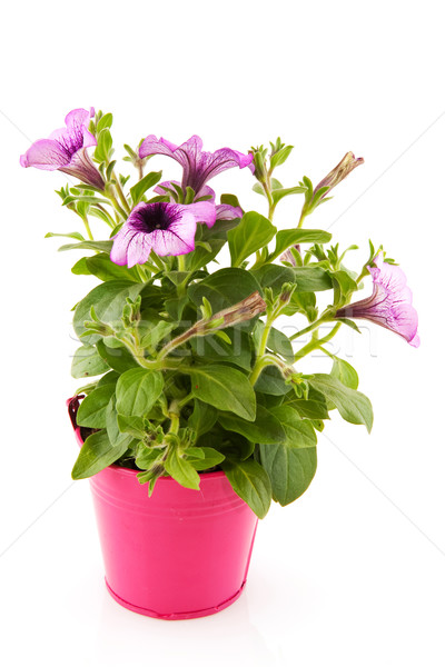 Garden petunia Stock photo © ivonnewierink