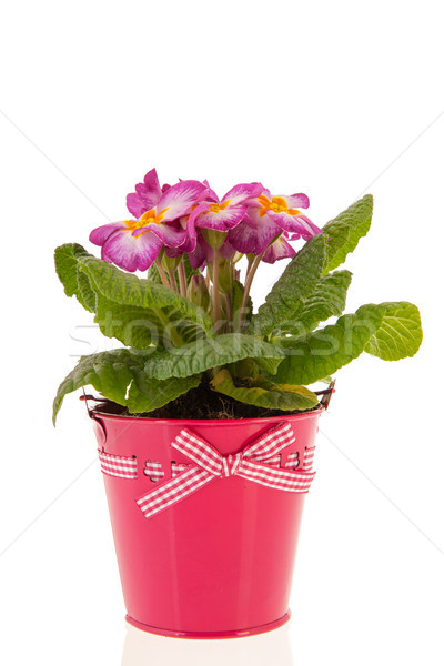 Rosa prímula balde planta isolado Foto stock © ivonnewierink