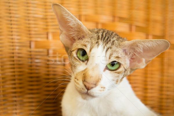 Gato siamés retrato ojos verdes gato verde cabeza Foto stock © ivonnewierink