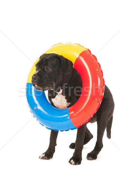 Summer dog with inflatable swimming toy Stock photo © ivonnewierink
