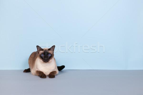 Sziámi macska fóka pont kék szemek szürke háttér Stock fotó © ivonnewierink