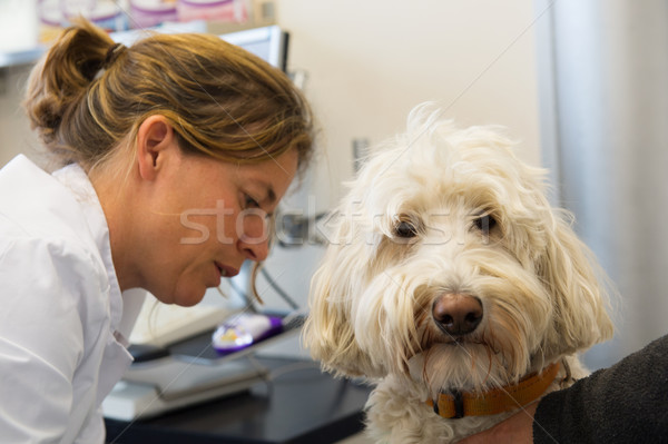 White poodle at the veterinarian Stock photo © ivonnewierink