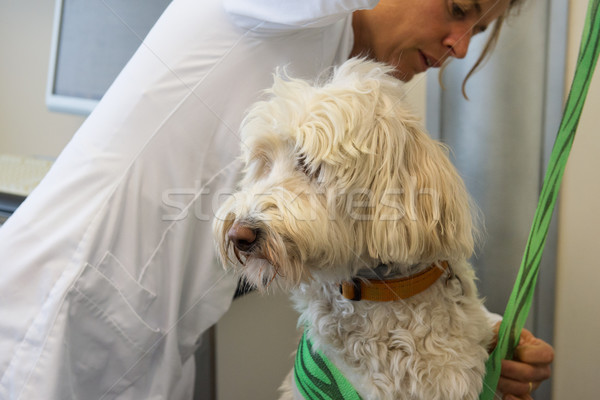 Wounded dog is having bandage at the veterinarian Stock photo © ivonnewierink