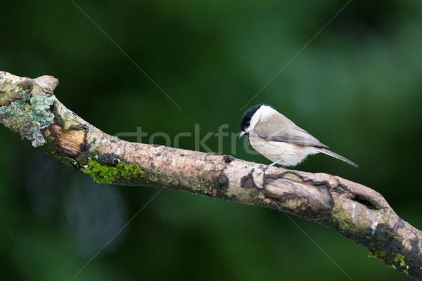 Salgueiro teta árvore floresta natureza Foto stock © ivonnewierink