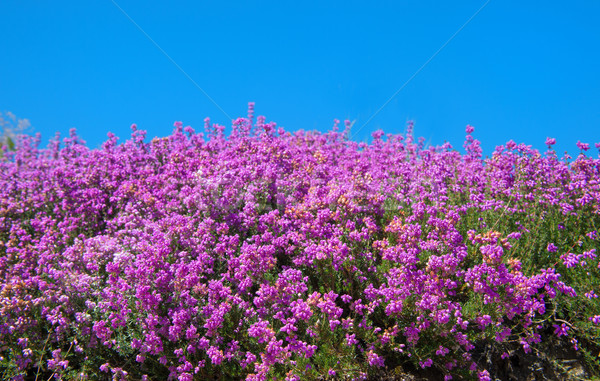 Purple blooming heath field Stock photo © ivonnewierink