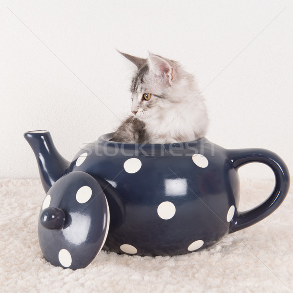 Maine coon kitten in tea pot Stock photo © ivonnewierink
