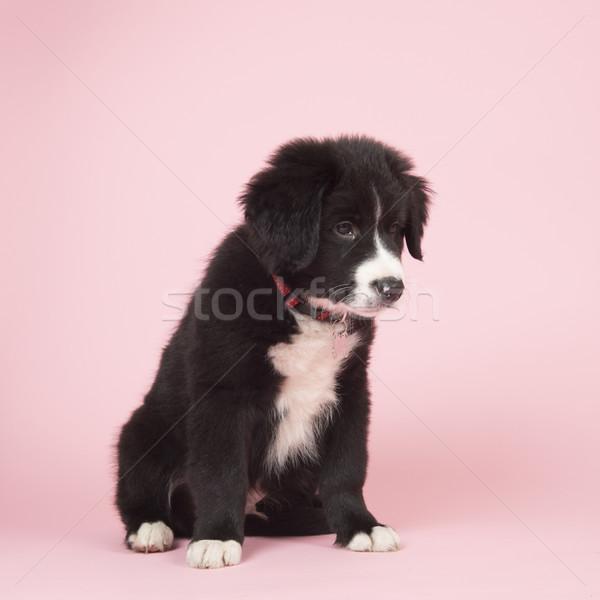 Border collie puppy roze cute baby hond Stockfoto © ivonnewierink