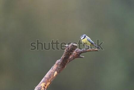 Blue tit on branch Stock photo © ivonnewierink