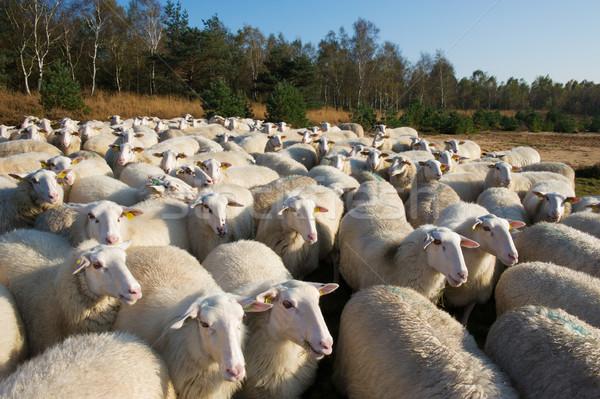 Pecore Holland terra bianco Foto d'archivio © ivonnewierink