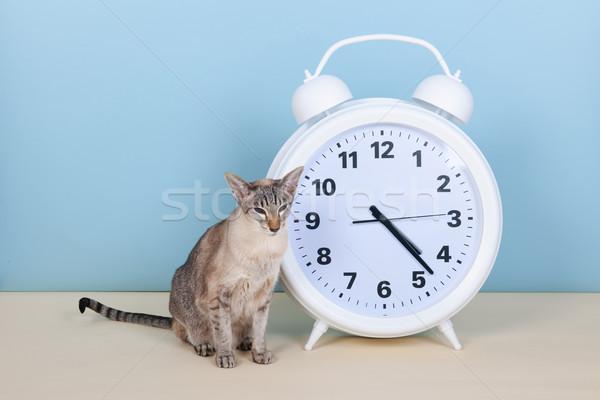 Sziámi macska ébresztőóra ül óra stúdió Stock fotó © ivonnewierink