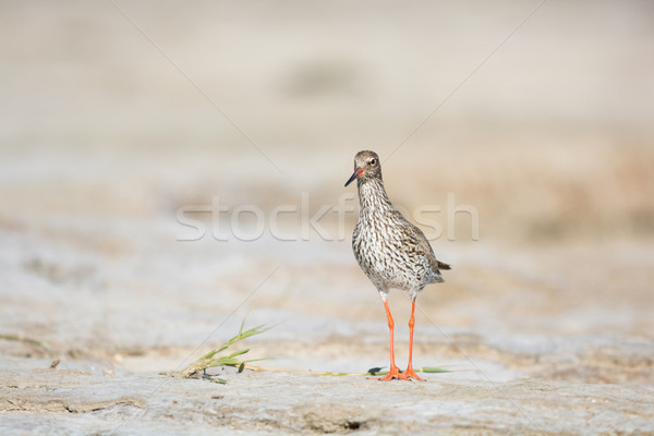 common red shank at the beach Stock photo © ivonnewierink