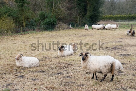 Drenthe Heath sheep Stock photo © ivonnewierink