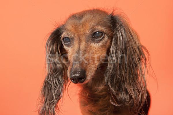 ダックスフント オレンジ 肖像 動物 ペット ストックフォト © ivonnewierink