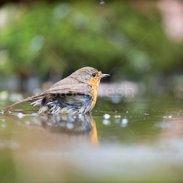 European Robin in water Stock photo © ivonnewierink