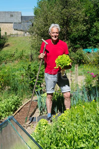 Salade plantaardige tuin vers gesneden handen Stockfoto © ivonnewierink